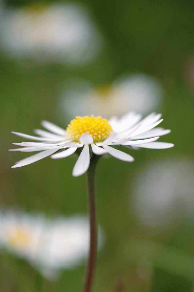 Stock Photo: 1850-38954 Bellis perennis, Daisy, Lawn daisy