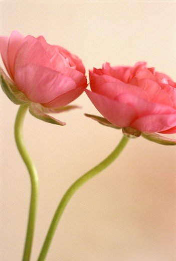 Ranunculus : Stock Photo