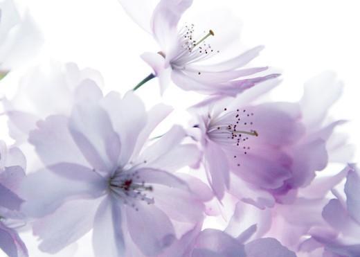 Prunus, Cherry : Stock Photo
