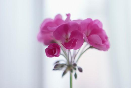Pelargonium : Stock Photo