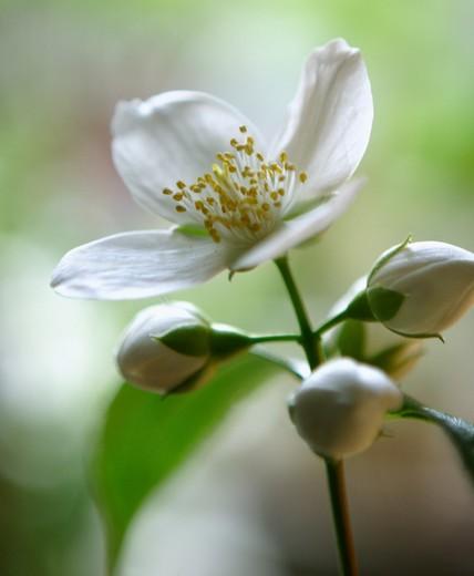 Rosa, Rose, Wild rose, Dog rose : Stock Photo