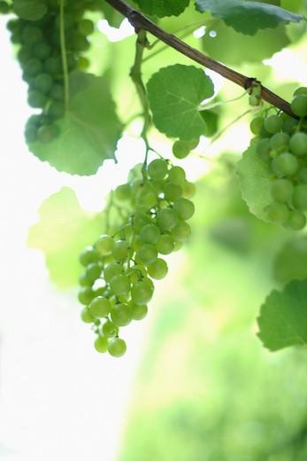 Vitis vinifera, Grape : Stock Photo
