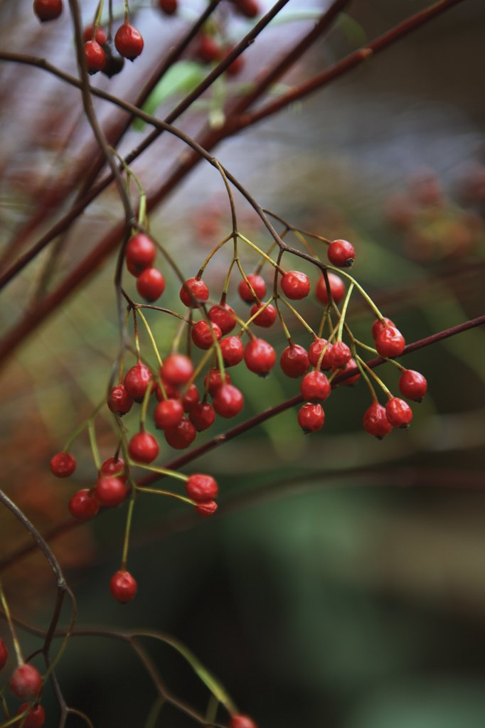 Cotoneaster : Stock Photo