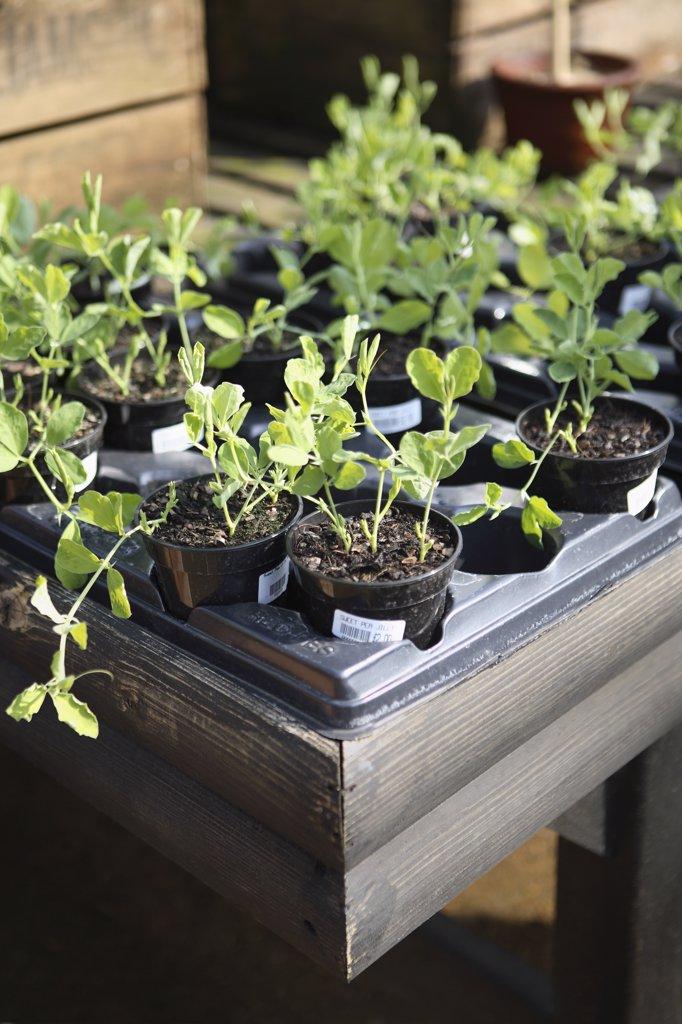 Lathyrus odoratus, Sweet pea : Stock Photo