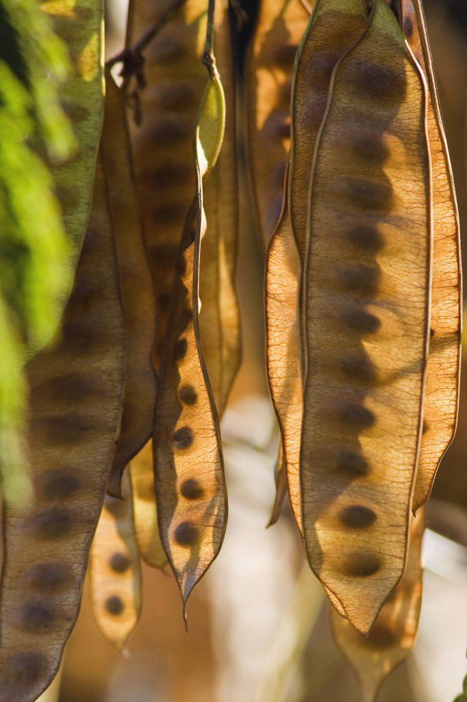 Seedpods, : Stock Photo