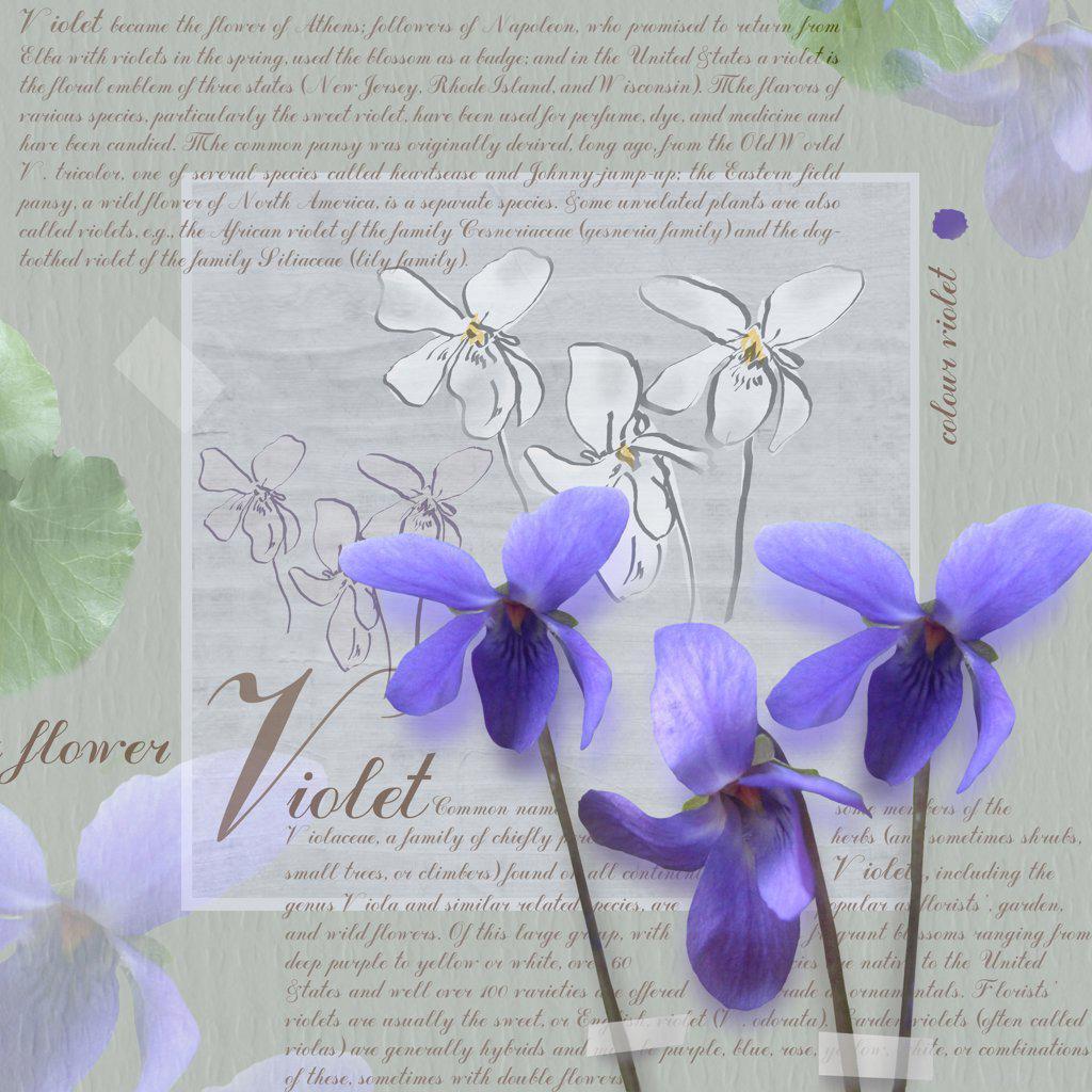 Stock Photo: 1850-39338 Viola odorata, Violet, Sweet violet