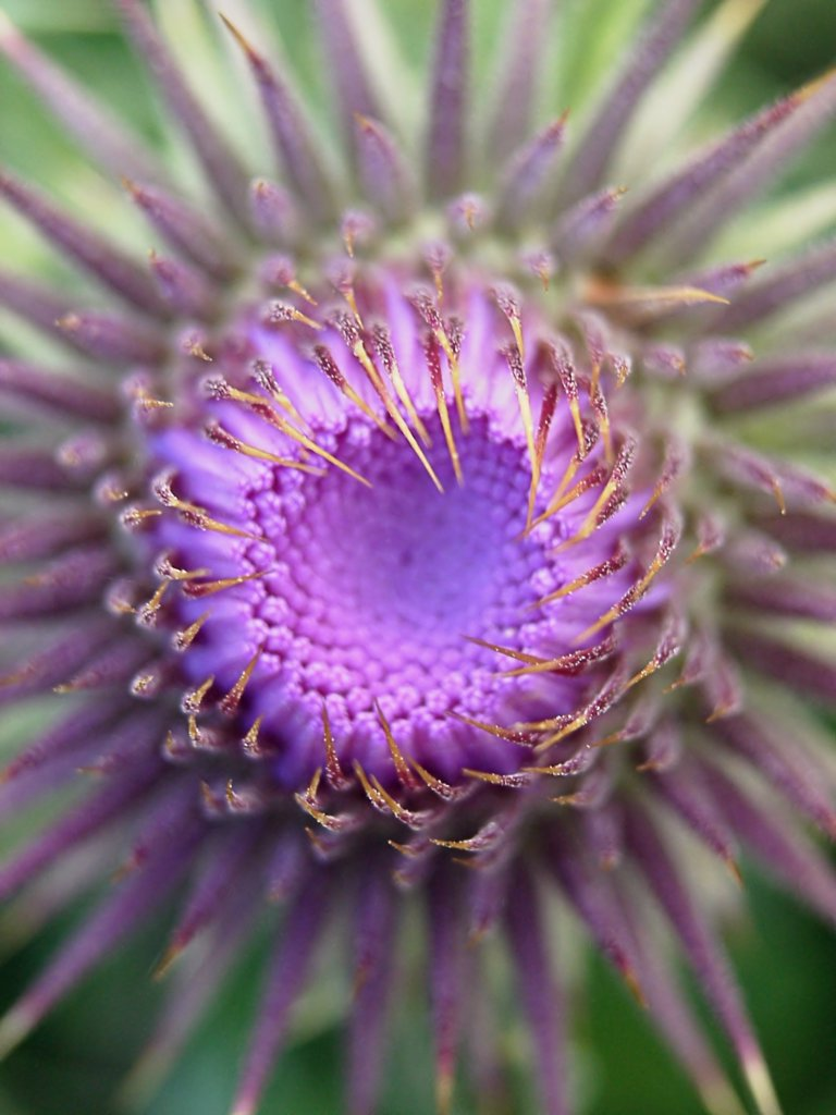 Cirsium vulgare, Thistle, Spear thistle, Scotch thistle, Bull thistle : Stock Photo