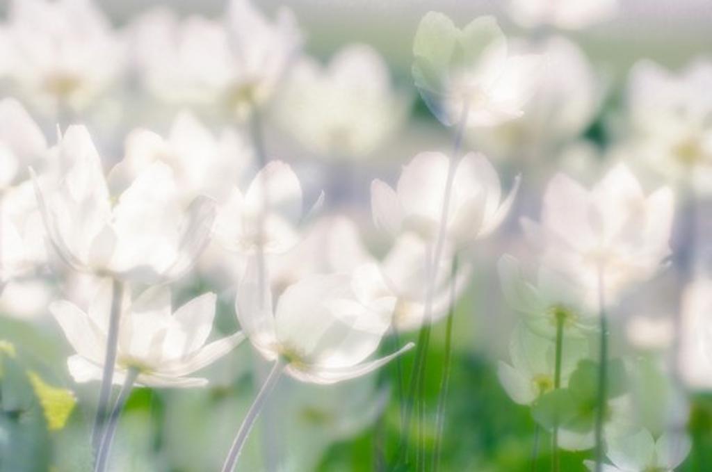 Anemone & rosa, Anemone, Wood anemone : Stock Photo