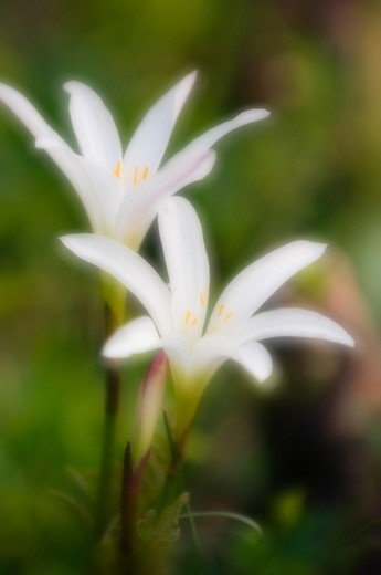 Stock Photo: 1850-39551 Crinum, Crinum lily