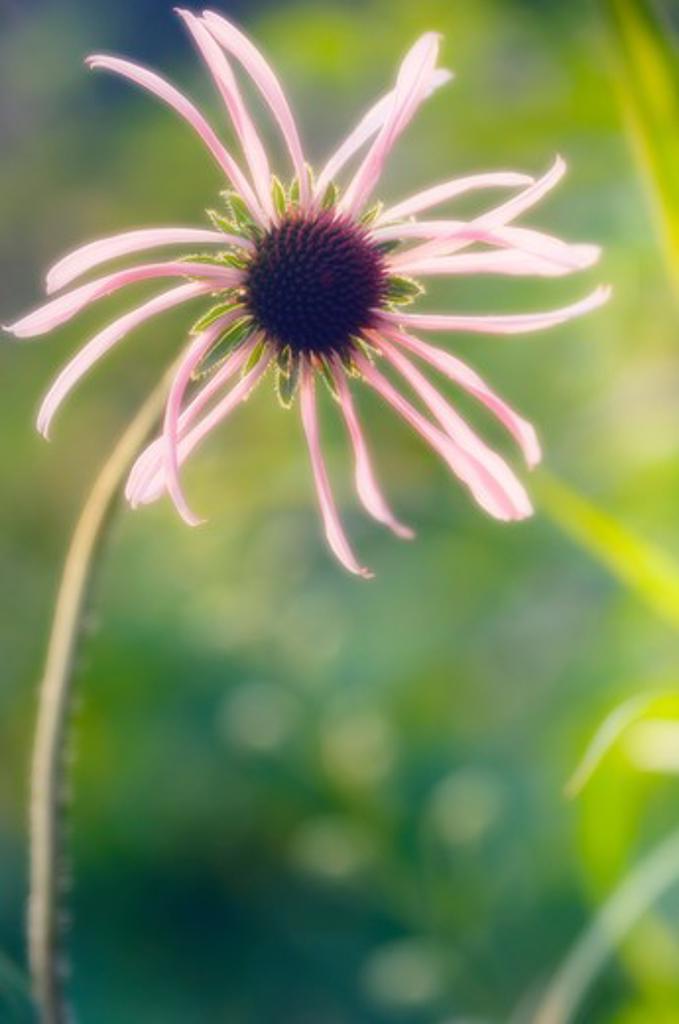Stock Photo: 1850-39564 Echinacea, Echinacea, Purple coneflower