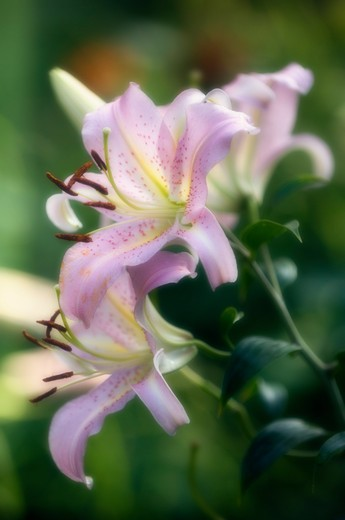 Stock Photo: 1850-39585 Lilium, Lily, Oriental lily