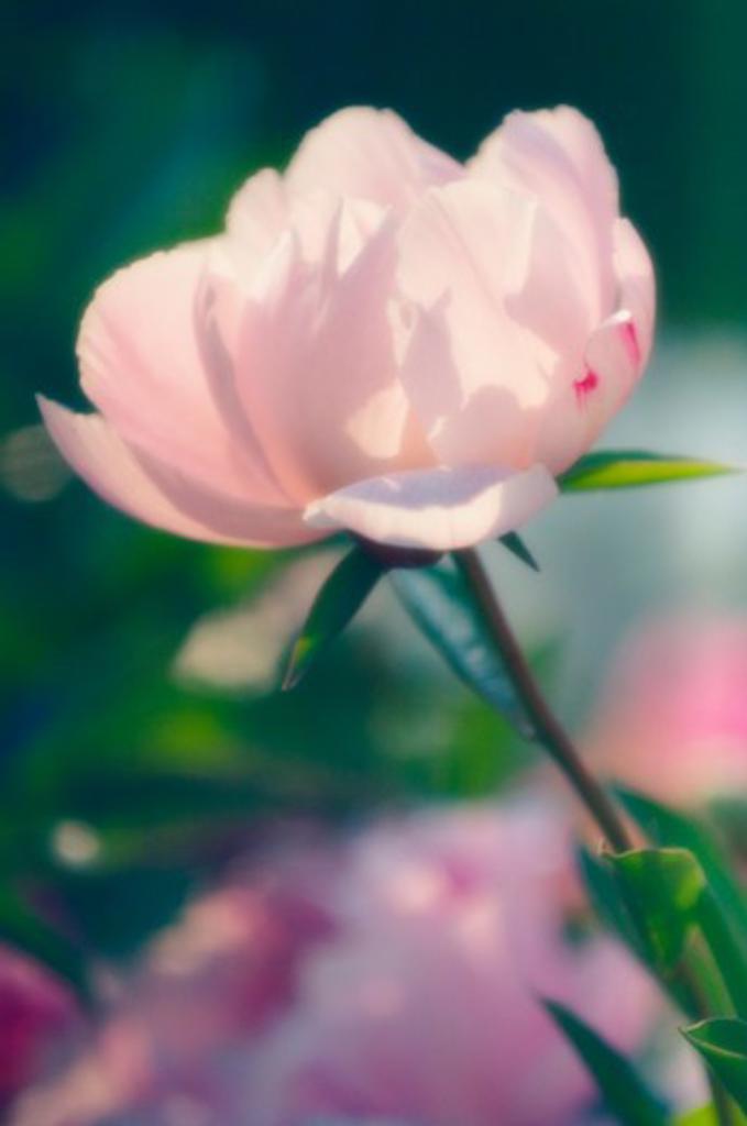 Paeonia lactiflora, Peony : Stock Photo