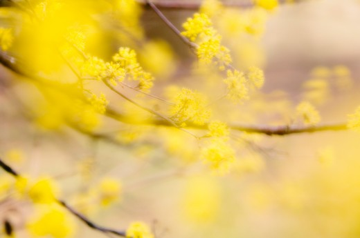 Stock Photo: 1850-39748 Cornus mas, Cornelian cherry dogwood
