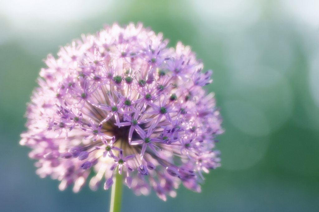 Allium giganteum, Allium : Stock Photo