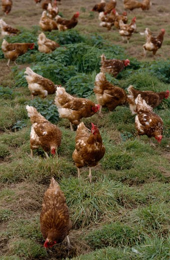 Agriculture, Livestock, Poultry, Free Range Hens Roaming In A Field. : Stock Photo