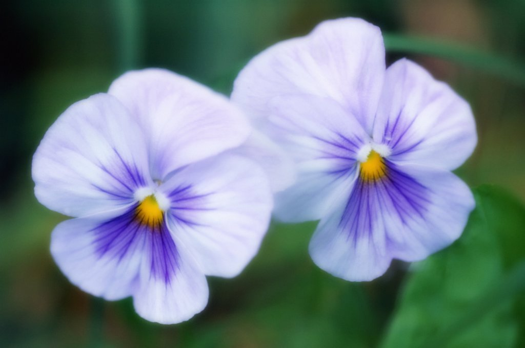 Viola wittrockiana, Pansy : Stock Photo