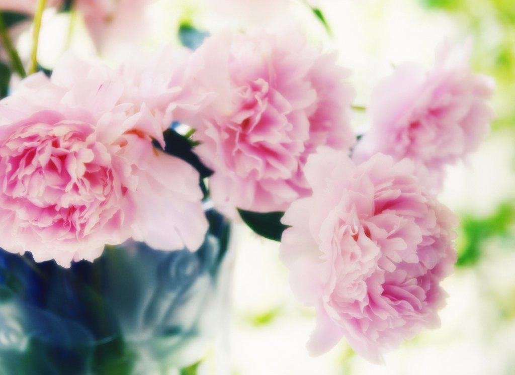 Paeonia lactiflora 'Sarah Bernhardt', Peony : Stock Photo