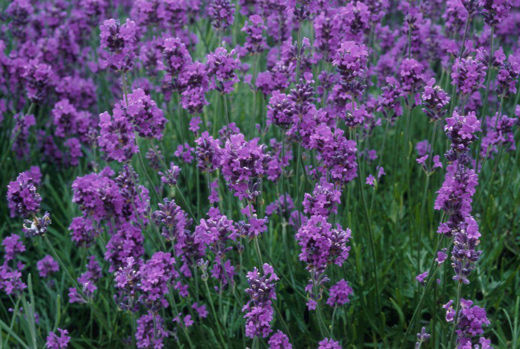 Lavandula augustifolia, Lavender : Stock Photo