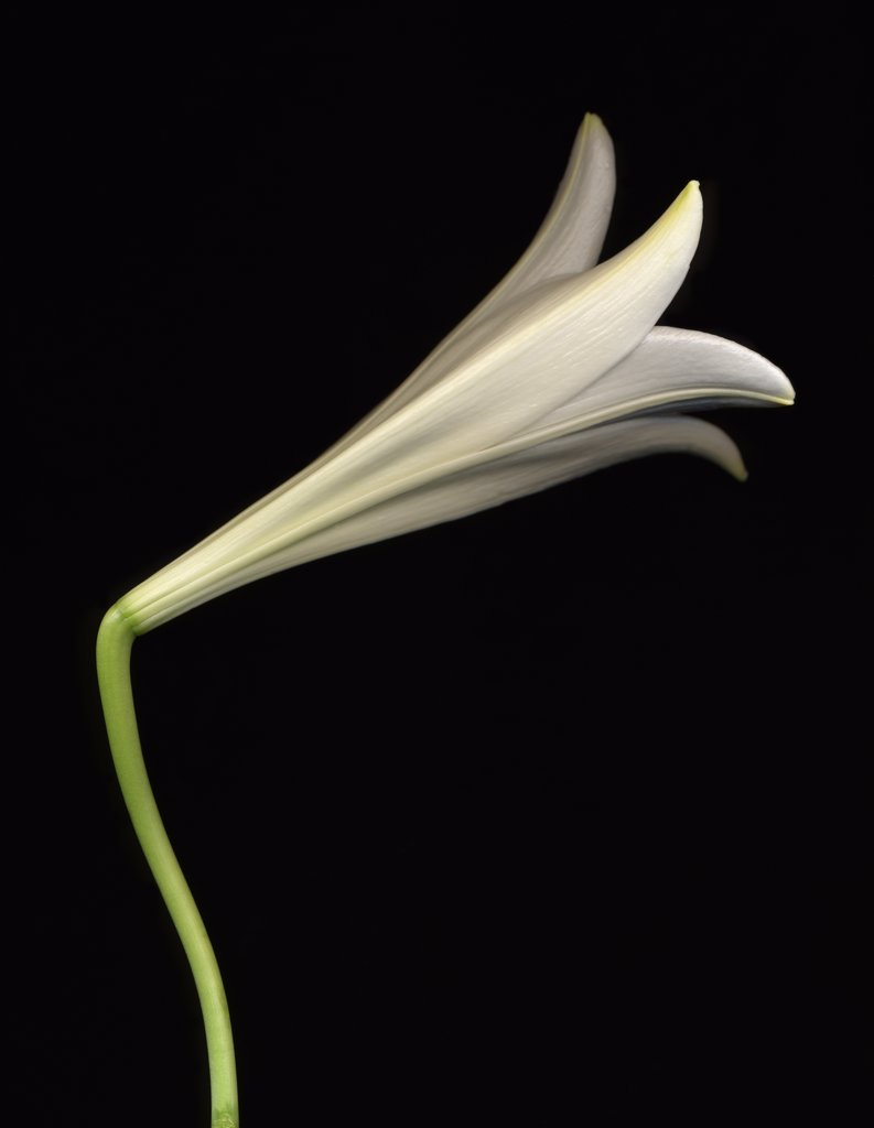Lilium longiflorum, Lily, Easter lily : Stock Photo