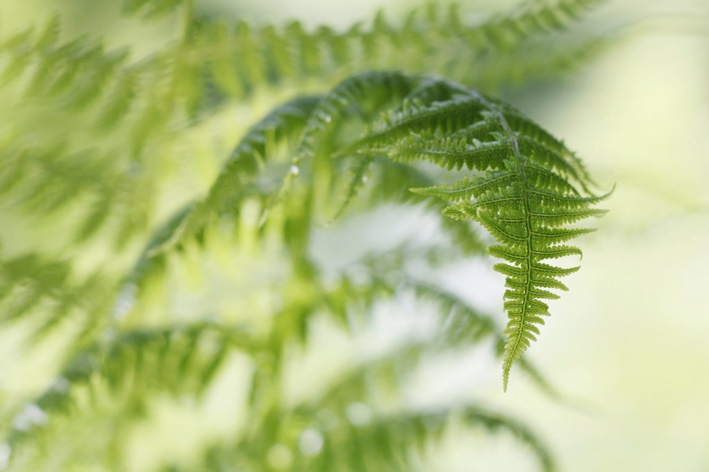 Dryopteris filix-mas, Fern, Male fern : Stock Photo