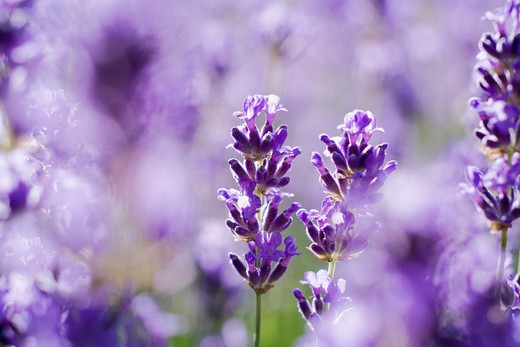 Stock Photo: 1850-40403 Lavandula augustifolia, Lavender