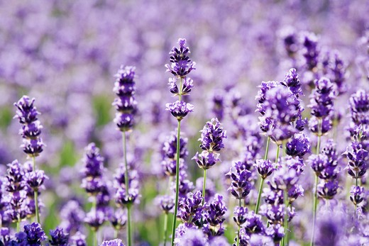 Lavandula augustifolia, Lavender : Stock Photo