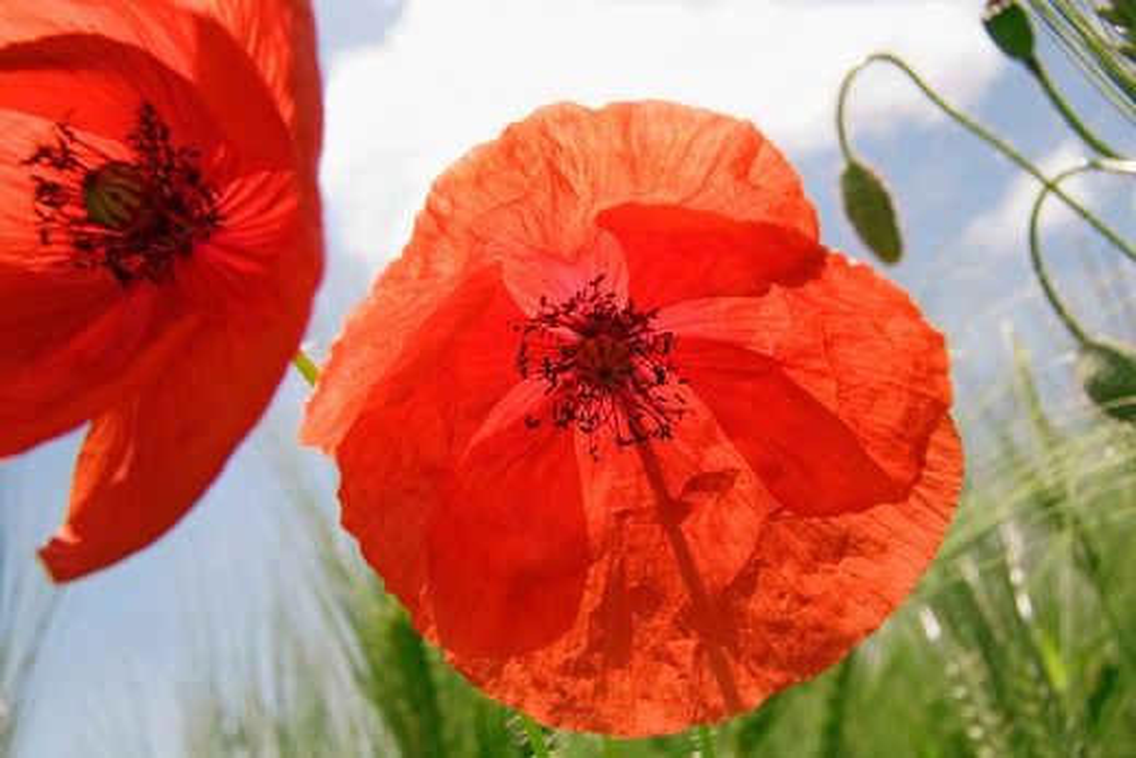 Stock Photo: 1850-40465 Papaver rhoeas, Poppy