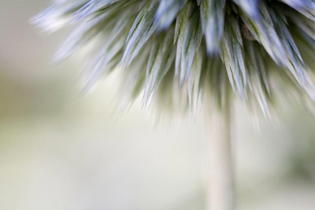 Echinops, Globe thistle : Stock Photo