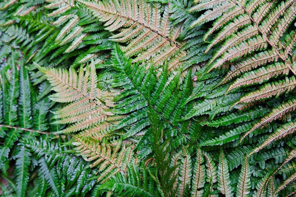 Stock Photo: 1850-40599 Dryopteris, Fern, Buckler fern