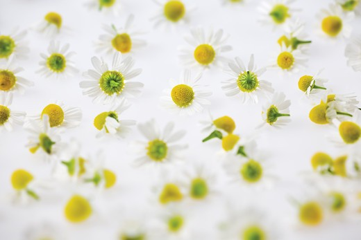 Matricaria recutita, Chamomile, German : Stock Photo