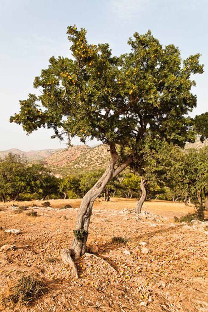 Argania spinosa, Argan : Stock Photo