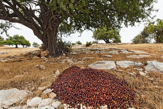 Argania spinosa, Argan : Stock Photo