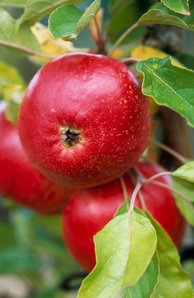 Stock Photo: 1850-41187 Malus domestica 'Fiesta', Apple