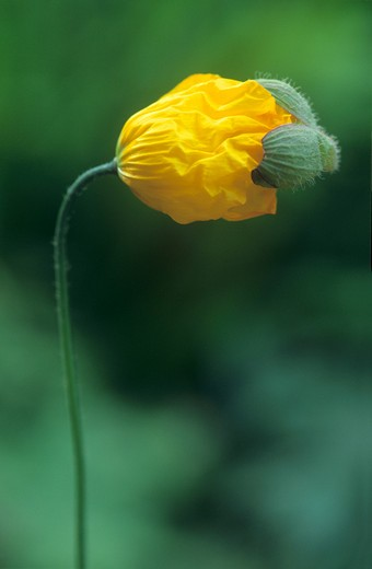 Stock Photo: 1850-41323 Meconopsis cambrica, Poppy, Welsh poppy