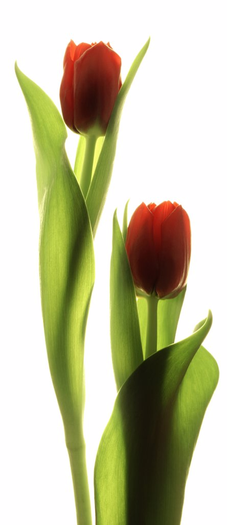 Tulipa, Tulip : Stock Photo