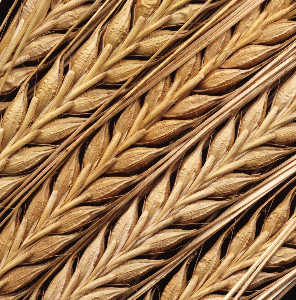 Hordeum, Barley : Stock Photo