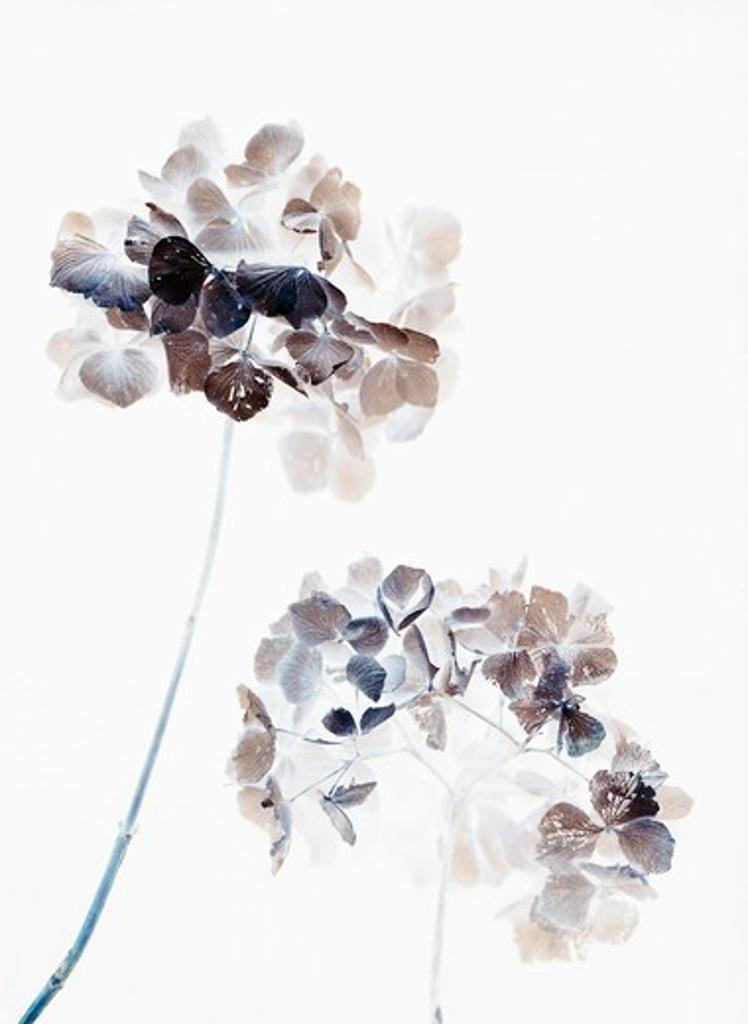 Hydrangea, Hydrangea : Stock Photo