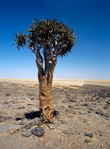 Aloe dichotoma, Quiver tree : Stock Photo