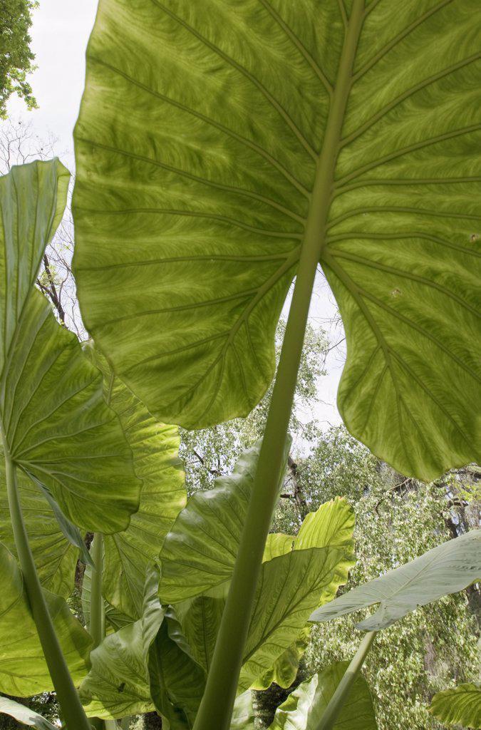 Stock Photo: 1850-41685 Xanthosoma 'Lime Zinger', Elephant ear