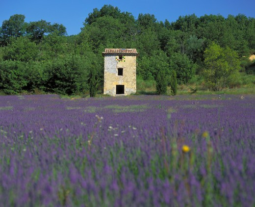 France, Provence  Cote D'Azur, Vaucluse, Old Farm Building In Lavender Field With Forest Behind Near Viens : Stock Photo