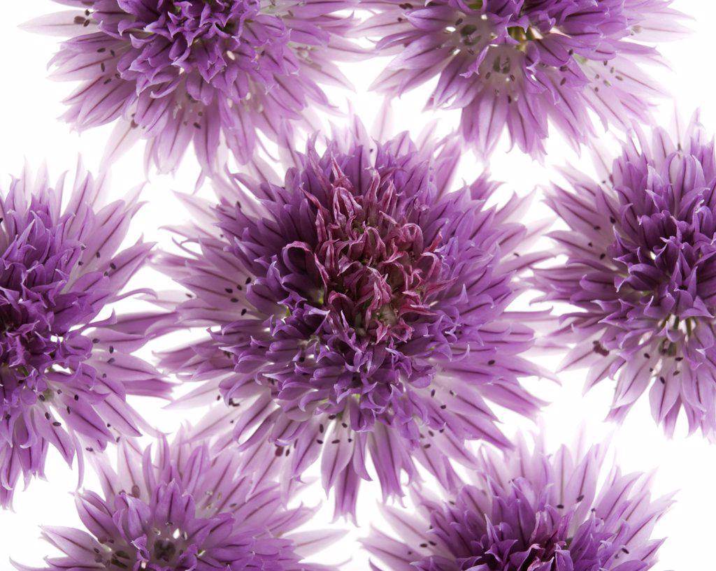 Allium schoenoprasum, Chive : Stock Photo