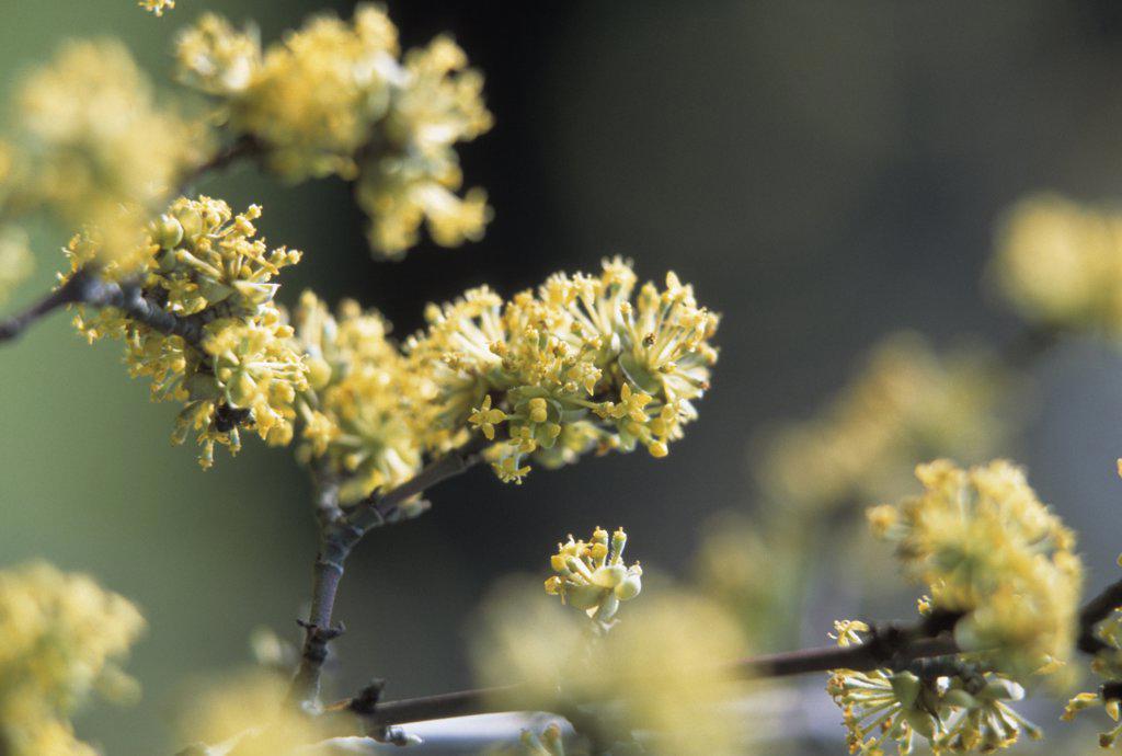 Cornus mas, Cornelian cherry dogwood : Stock Photo