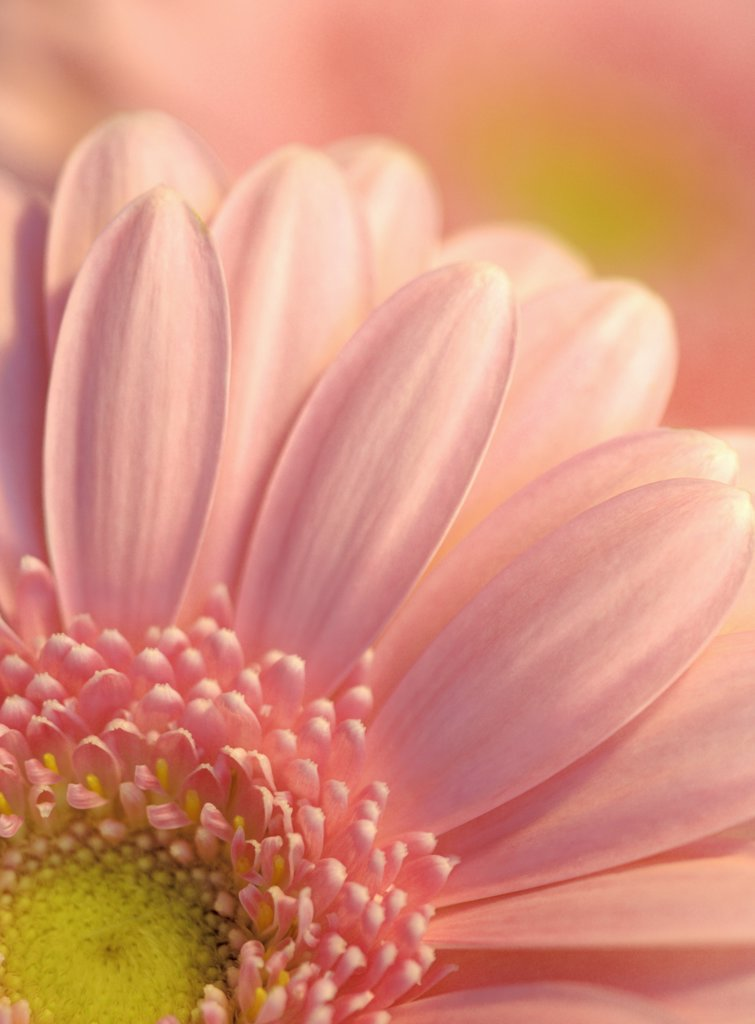 Gerbera : Stock Photo