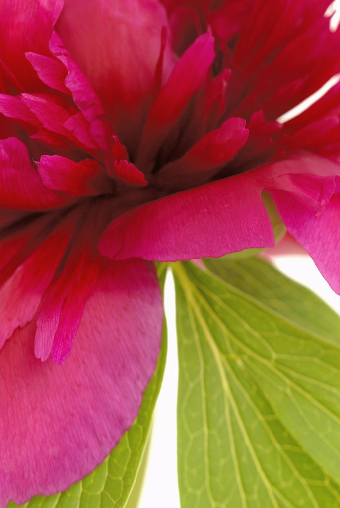 Paeonia officinalis, Peony : Stock Photo