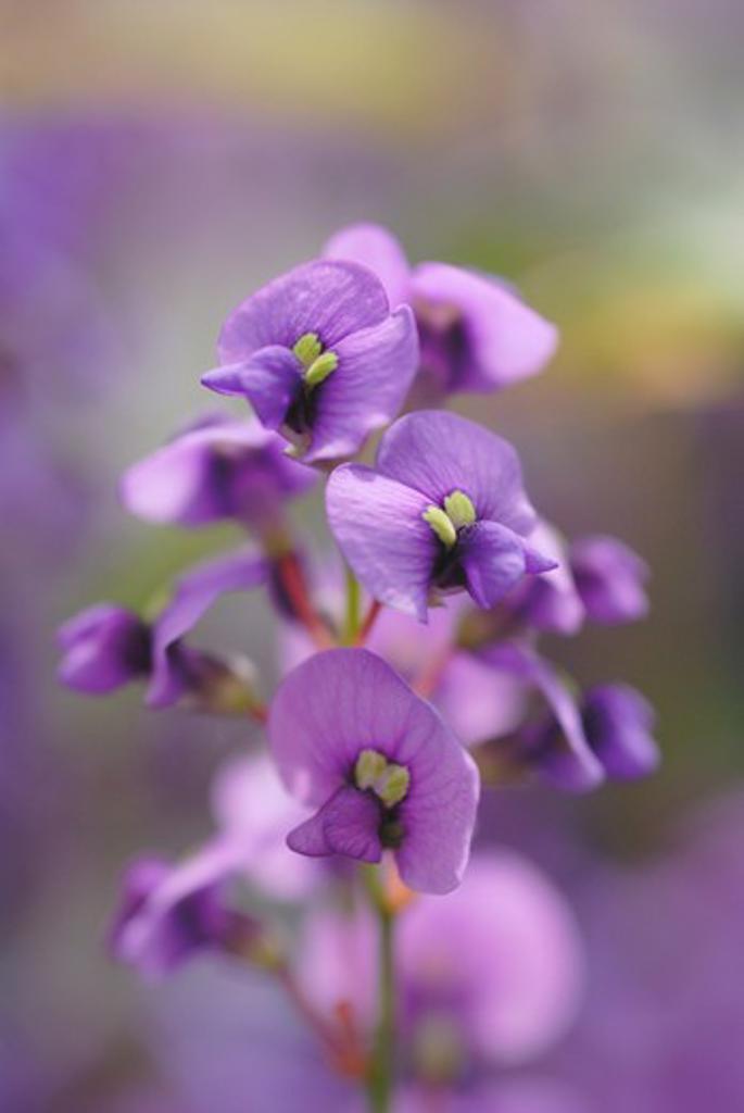 Hardenbergia violacea, Sarsaparilla, Australian : Stock Photo