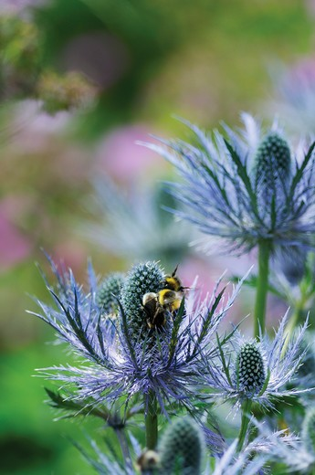 Stock Photo: 1850-43312 Eryngium, Sea holly