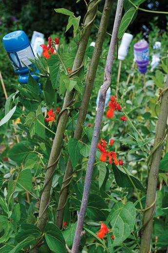 Phaseolus coccineus, Runner bean : Stock Photo