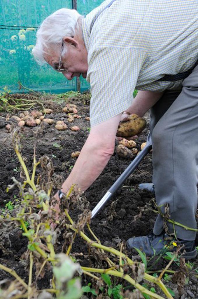 Stock Photo: 1850-43409 Solanum tuberosum, Potato