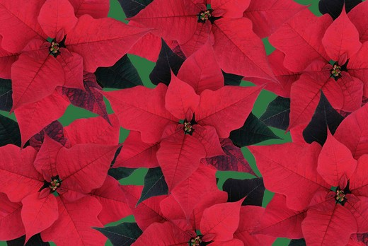 Stock Photo: 1850-43585 Euphorbia pulcherrima, Poinsettia
