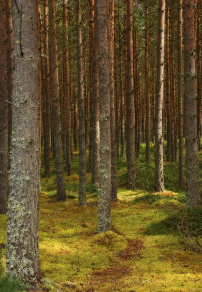 Stock Photo: 1850-43756 Pinus, Abies, Picea, Pine, Fir, Spruce,